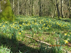 Wild daffodils in Chilgrove